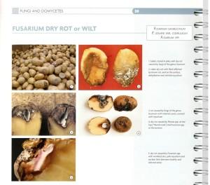 3.05.fusarium_dry rot